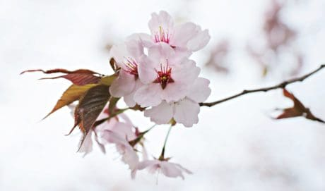 branch, flower, tree, nature, leaf, cherry, Japan