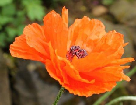 Natur, Blume, Pflanze, Blütenblatt, Orange, Pollen, Pflanze
