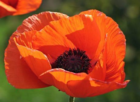 papavero rosso, fiore, giardino, petalo, fiore, orticoltura, fiori ed