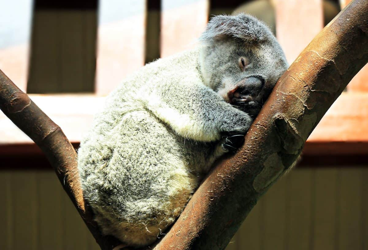 koala, wildlife, wild, tree, animal, fur