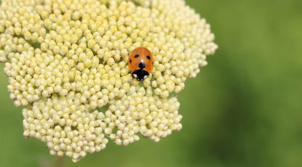 nature, plant, herb, ladybug, insect, beetle, leaf
