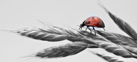 ladybug, monochrome, photomontage, insect, bug, plant, wheat