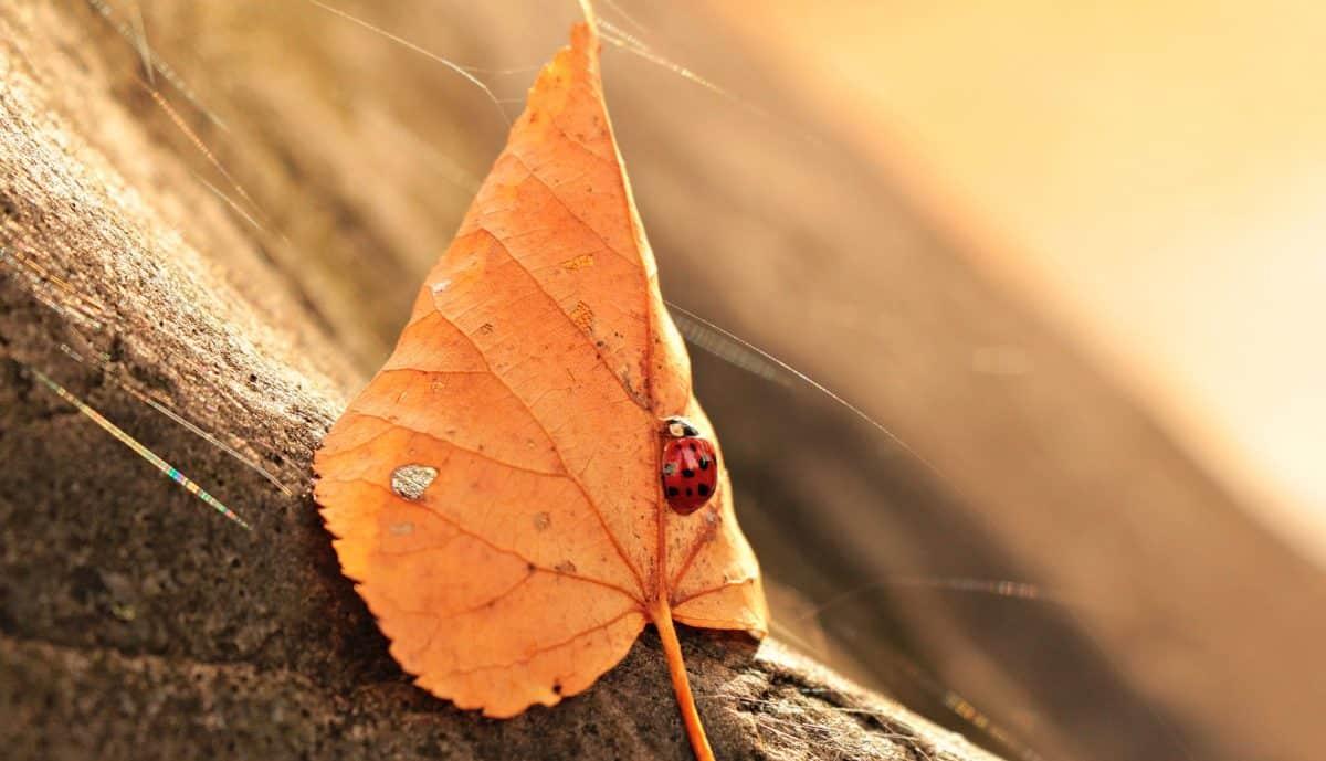 nature, leaf, ladybug, tree, autumn, animal, insect