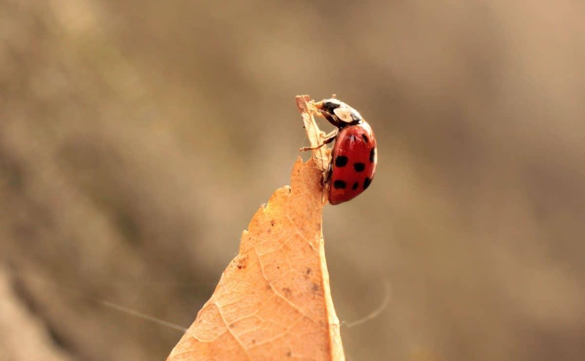 nature, ladybug, leaf, autumn, animal, insect, plant