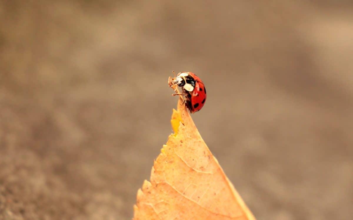 ladybug, leaf, autumn, animal, insect