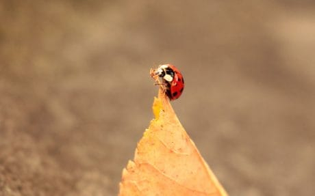 ladybug, leaf, autumn, animal, insect