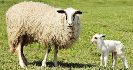 livestock, grass, agriculture, sheep, field, farmland