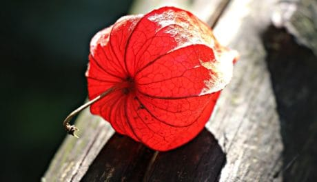 plant, flower, nature, red, shadow