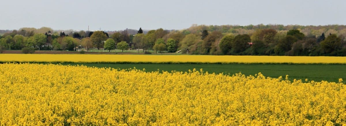 oil, agriculture, landscape, field, rapeseed, oilseed, seed