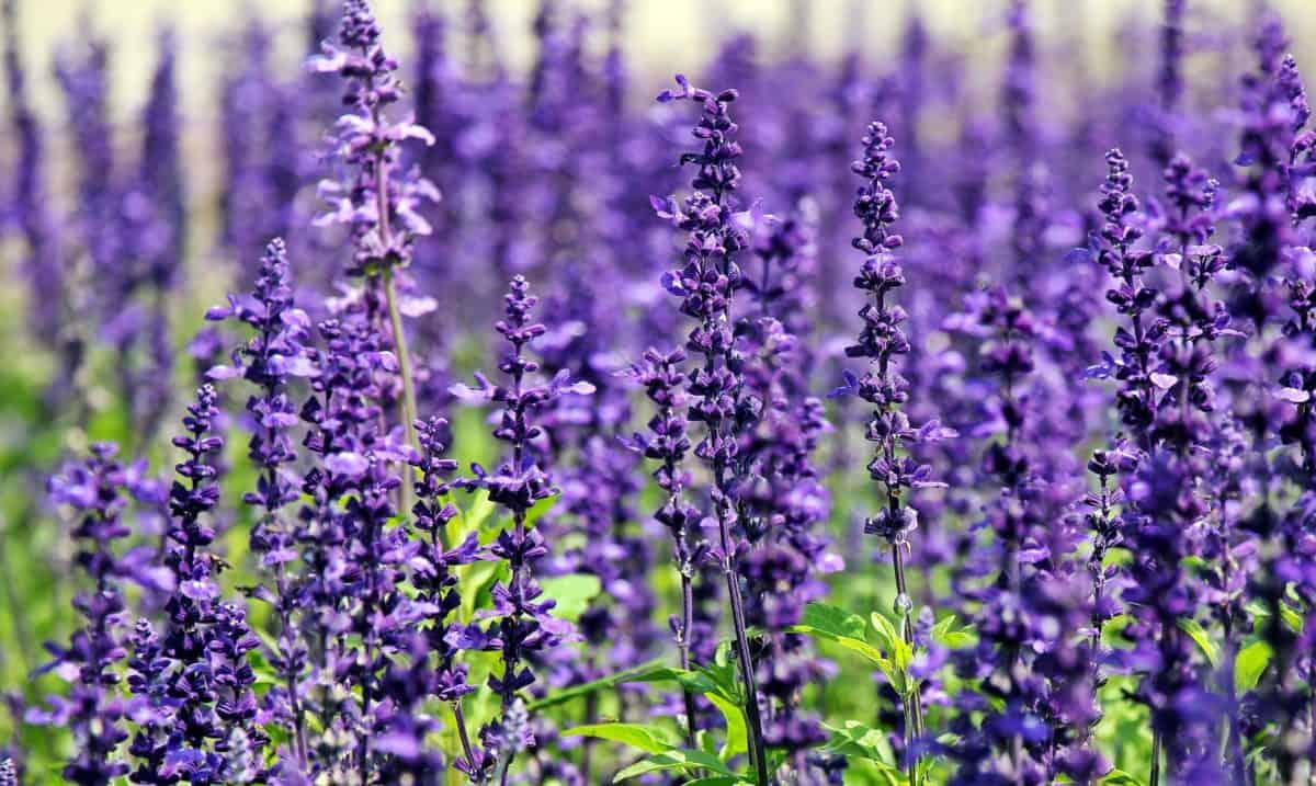 musim panas, pertanian, pedesaan, bidang, ramuan, alam, flora, bunga, tanaman