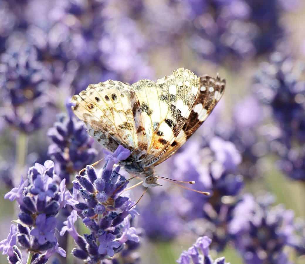 cvijet, leptir, flore, kukci, priroda, ljeto