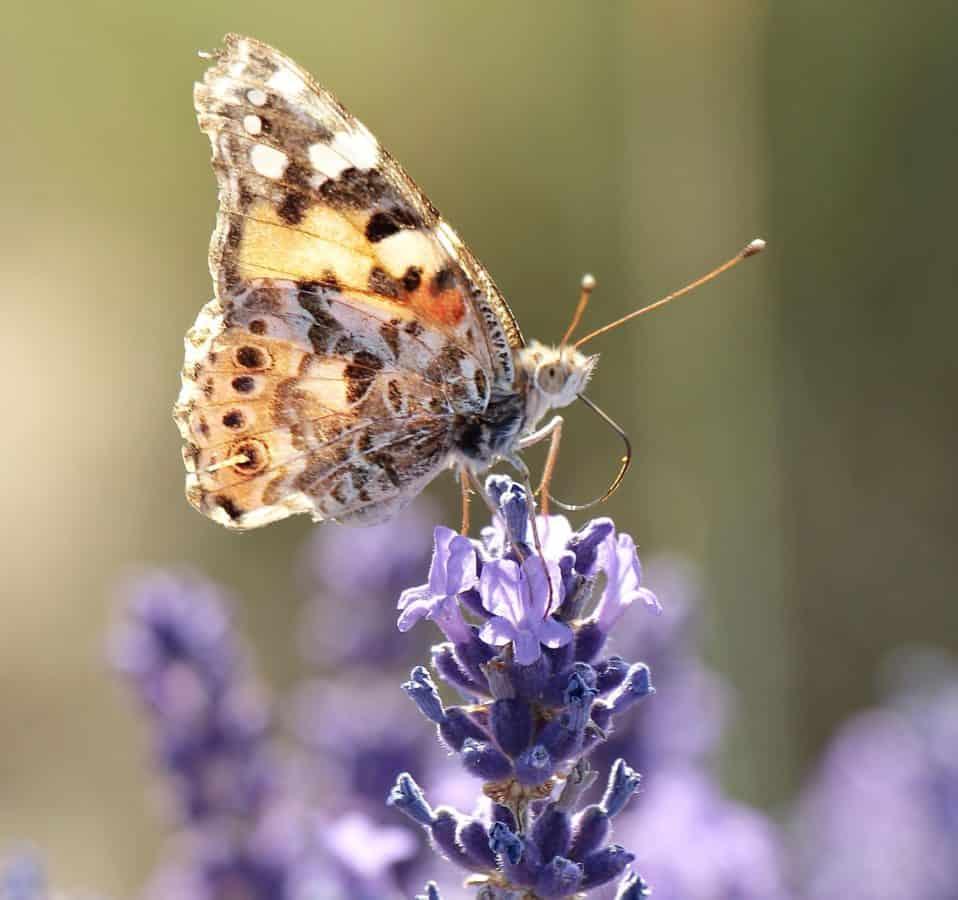 ruskea perhonen, kukka, luonto, eläin, kesä, hyönteinen, Päivänvalo