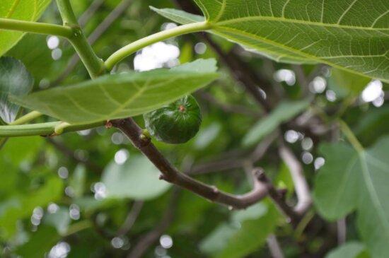 Fig, Garten, Natur, grünes Blatt, Flora, Landwirtschaft, Sommer, Obst, Lebensmittel