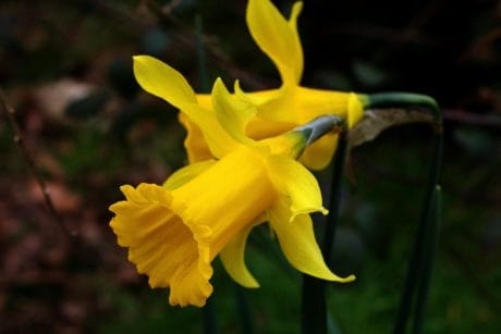 yellow daffodil, nature, flower, leaf, flora, narcissus, plant, herb