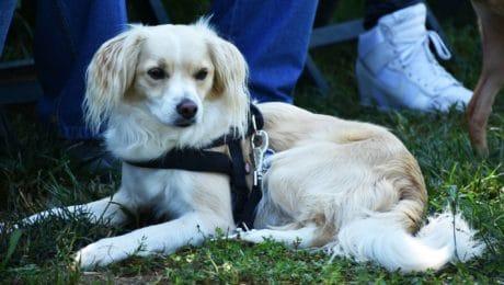 stamboom, Honds, gras, pup, dier, hond, schattig, portret, bont, buiten