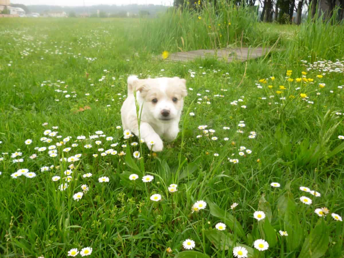 terrier dog, lawn, grass, field, summer, flower, nature, meadow, outdoor