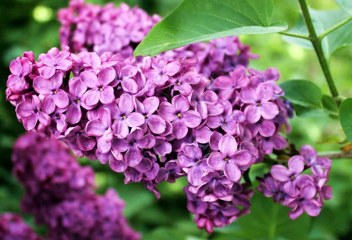 lilac flower, leaf, horticulture, petal, garden, nature, summer, flower