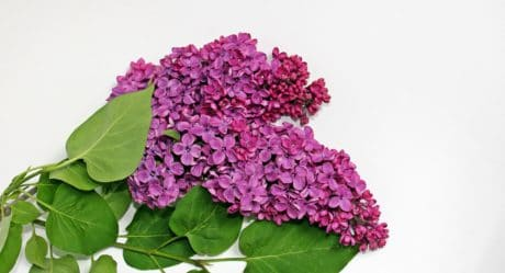 Lila, bloem, tuinbouw, blad, natuur, plant, roze, bloemblaadje
