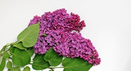 lila, flor, horticultura, hoja, naturaleza, planta, color de rosa, Pétalo