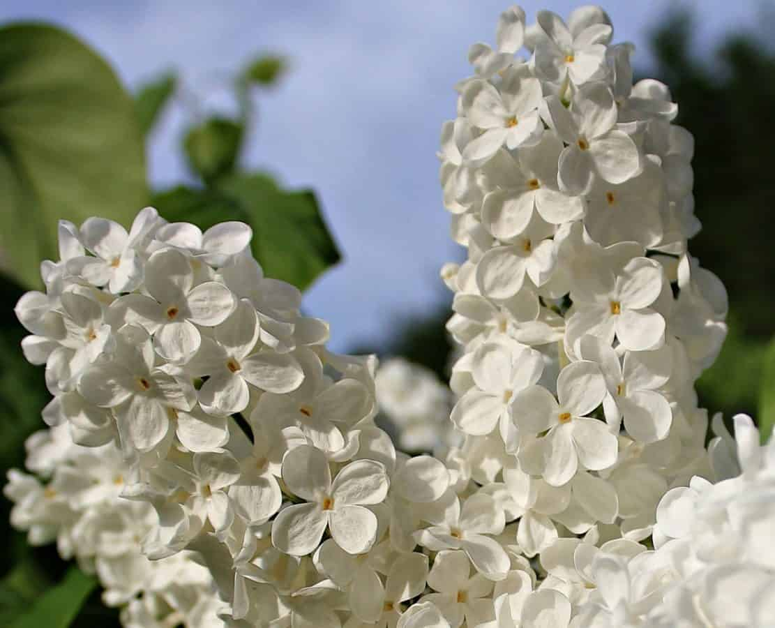 white lilac, petal, leaf, branch, nature, flower, garden, beautiful, summer