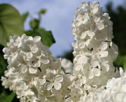 bílá lila, okvětní lístek, list, větev, příroda, květina, zahrada, krásné, léto