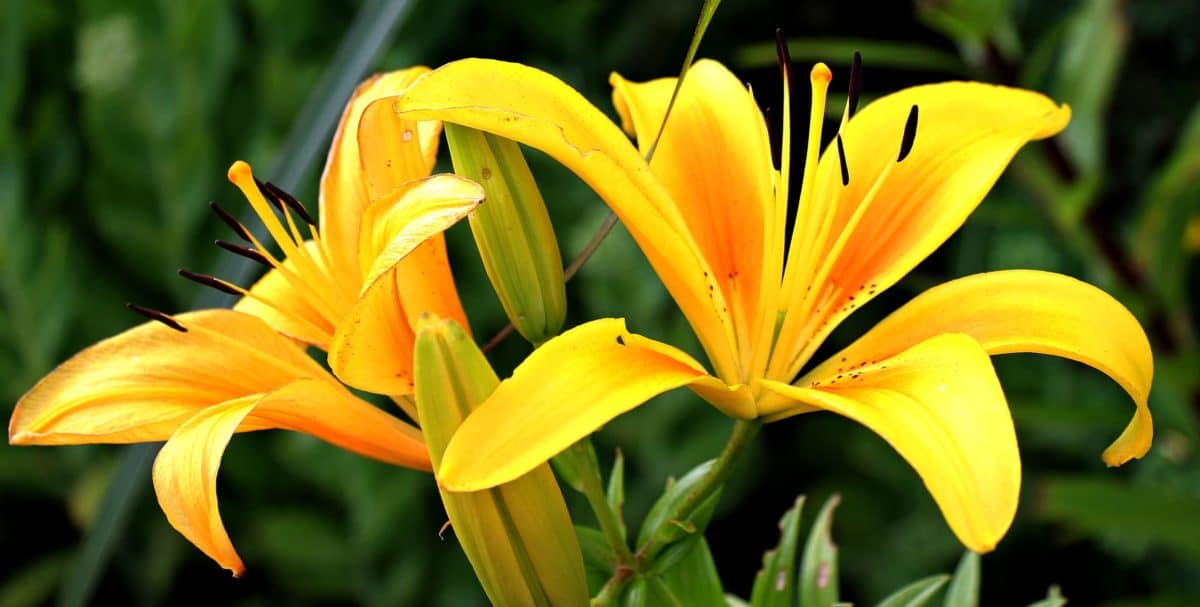 Lys jaune, fleur, pistil, feuille, jardin, nature, été, plante, pétale, fleur