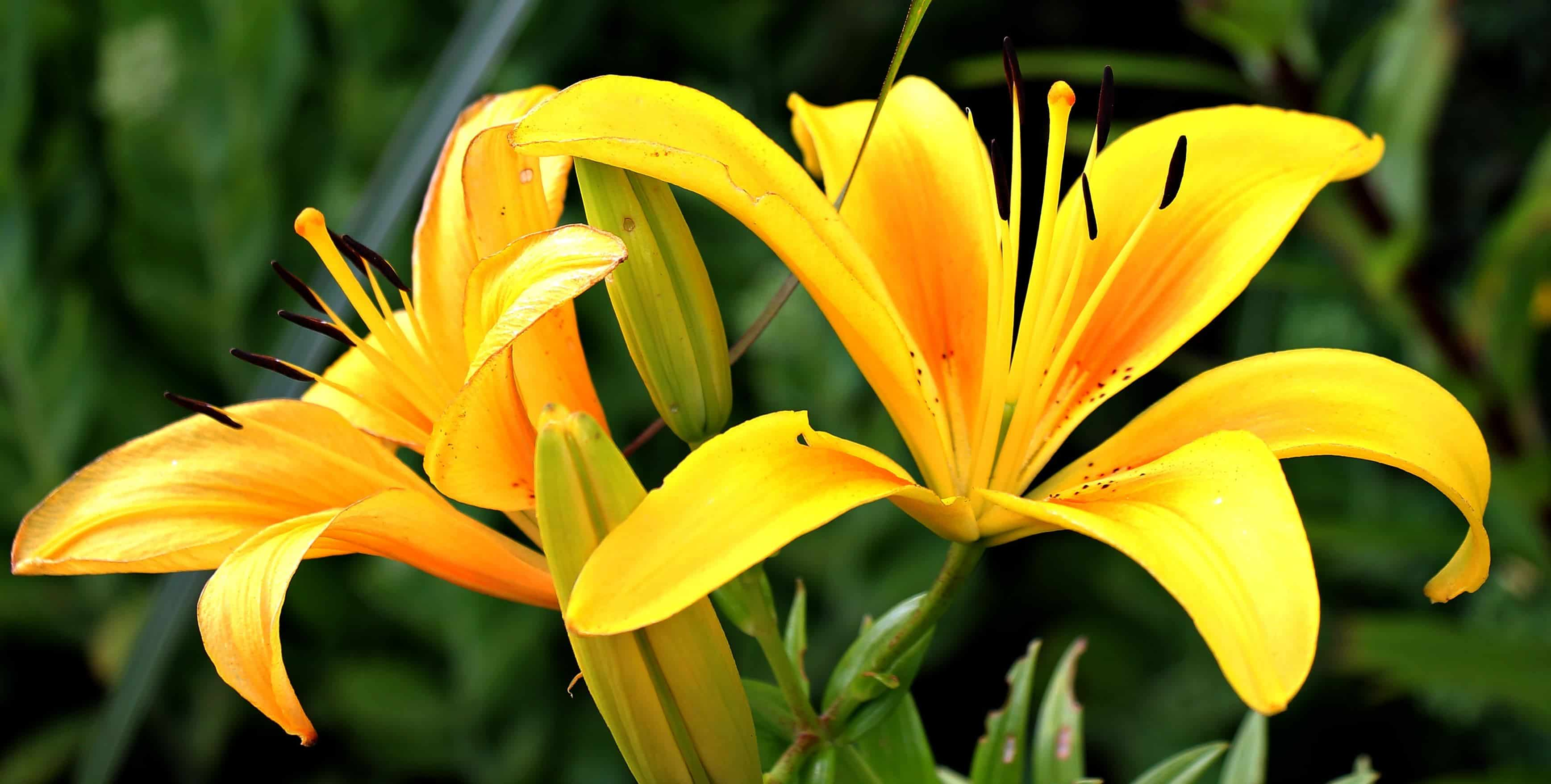 Free picture yellow lily flower pistil leaf garden nature yellow lily flower pistil leaf garden nature summer plant petal blossom izmirmasajfo