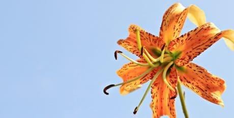 Lily cvijet, vrt, latica, biljka, pelud, plavo nebo