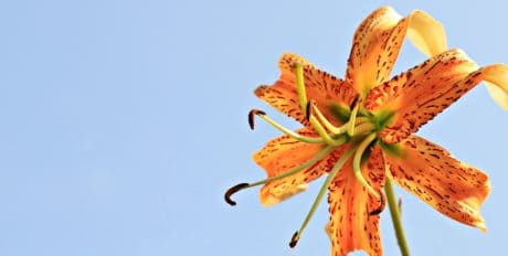 lily flower, garden, petal, plant, pollen, blue sky