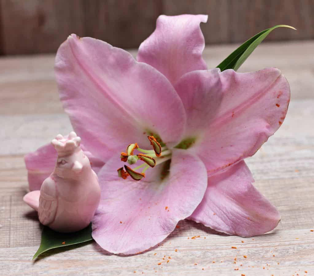 bilde Studio, blad, blomst, petal, vakker, hage, natur, Pink, Plant