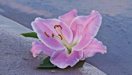 fiore, Giglio, natura, pianta, rosa dentellare, petalo, fiore