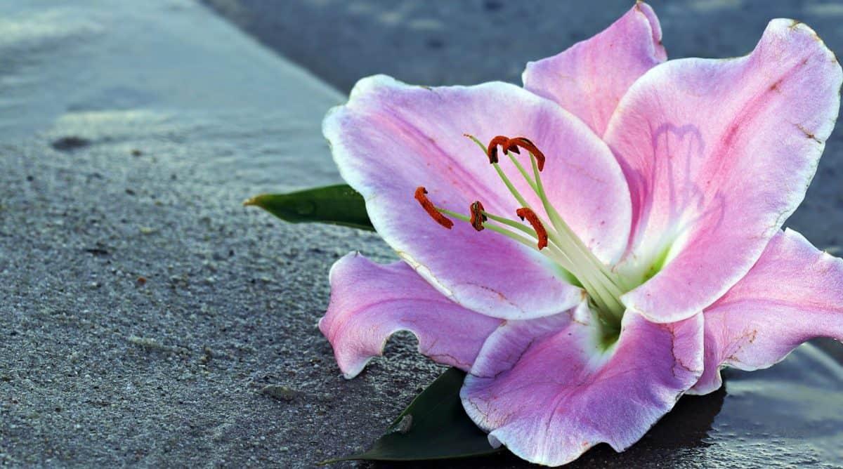 kesä, kukka, luonto, terä lehti, kasvi, vaaleanpunainen, lilja, kukka