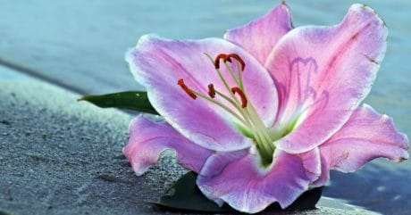 nature, lily flower, pink, plant, petal, blossom, pink