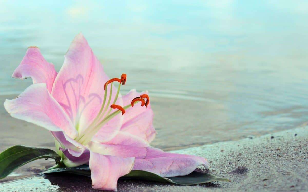 nature, water, summer, bay, island, lily, flower, plant, pink, blossom