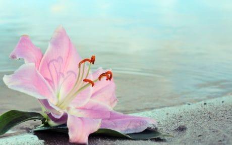 naturaleza, agua, verano, Bahía, isla, lirio, flor, planta, color de rosa, flor