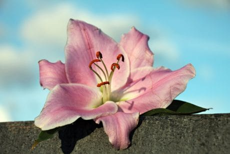 nature, lily flower, pink, plant, petal, blossom, garden