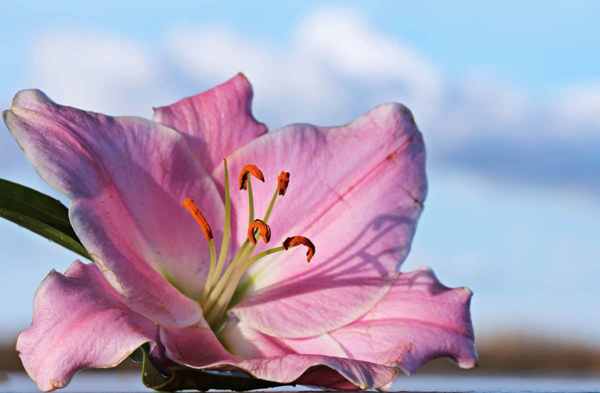 blomst, natur, lyserød lilje, kronblad, plante, lyserød, blomstre, have