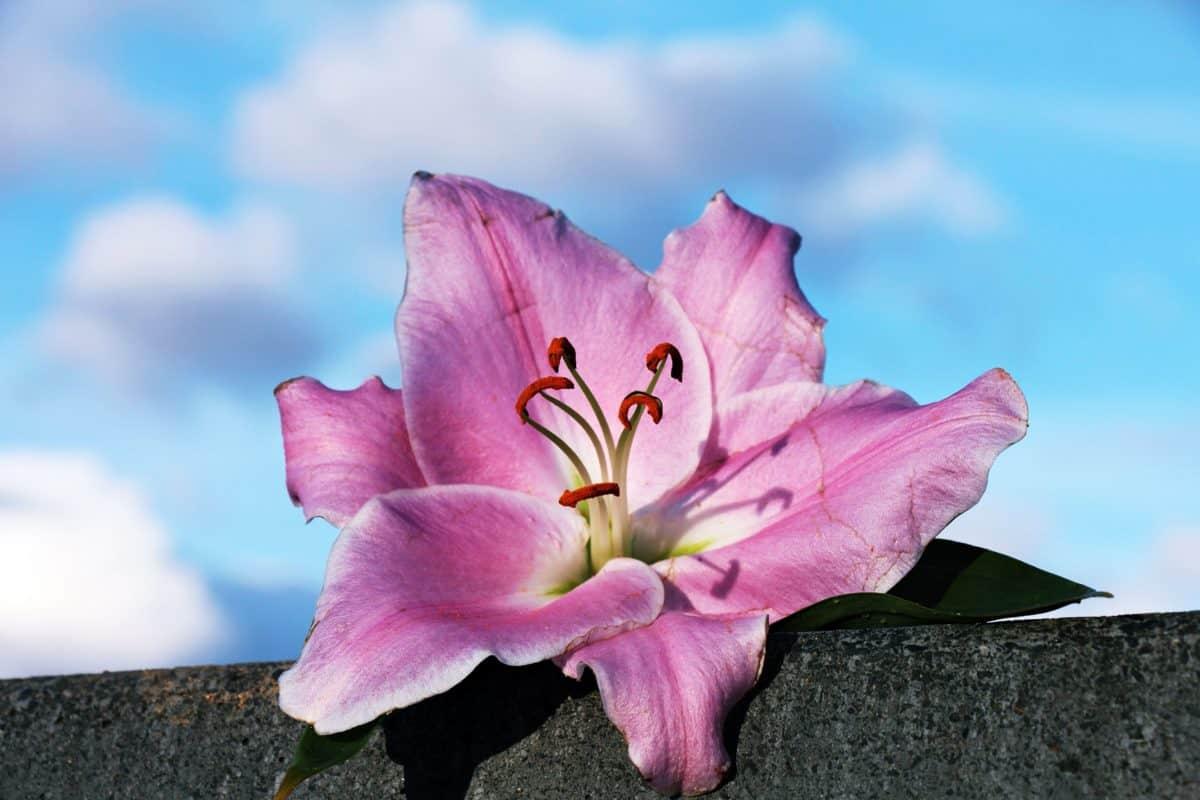 pink flower, pistil, nature, pink, plant, petal, blossom, blue sky
