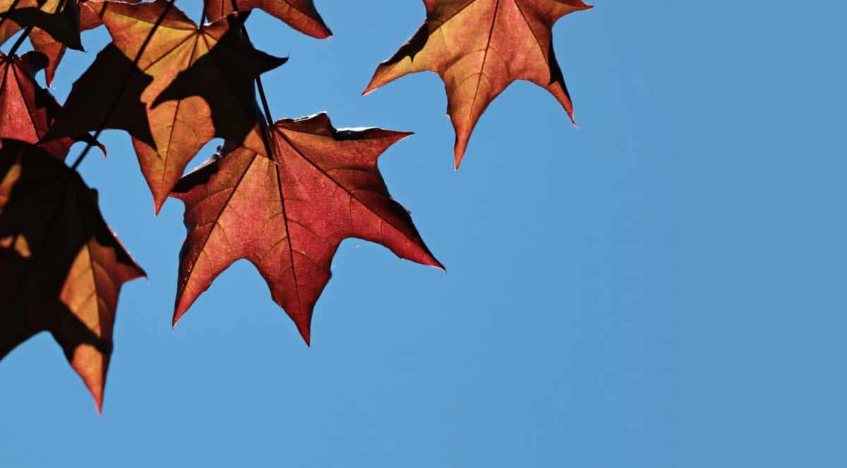 Suhi list, ljetno doba, priroda, jesen, lišće, plavo nebo, stablo