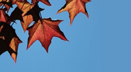 trockenes Blatt, Tageslicht, Natur, Herbst, Laub, blauer Himmel, Baum