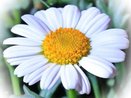 photomontage, flower, summer, nature, leaf, chamomile, blossom, petal, garden