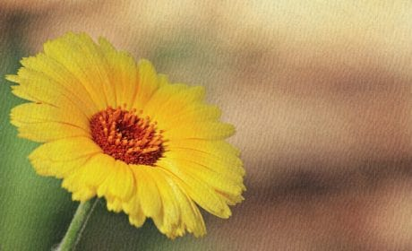 fiore, natura, girasole, petalo, pianta, estate, campo, giardino