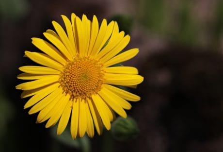 zomer, schaduw, gele bloem, stamper, natuur, kruid, plant