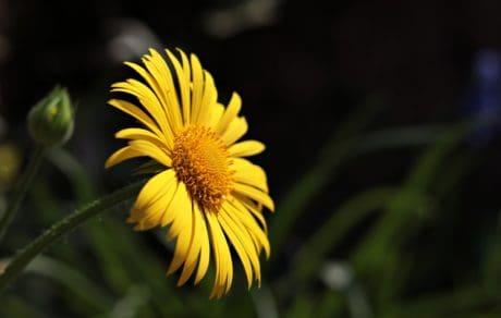 skygge, sommer, natur, gul blomst, urt, plante, solsikke, kronblad