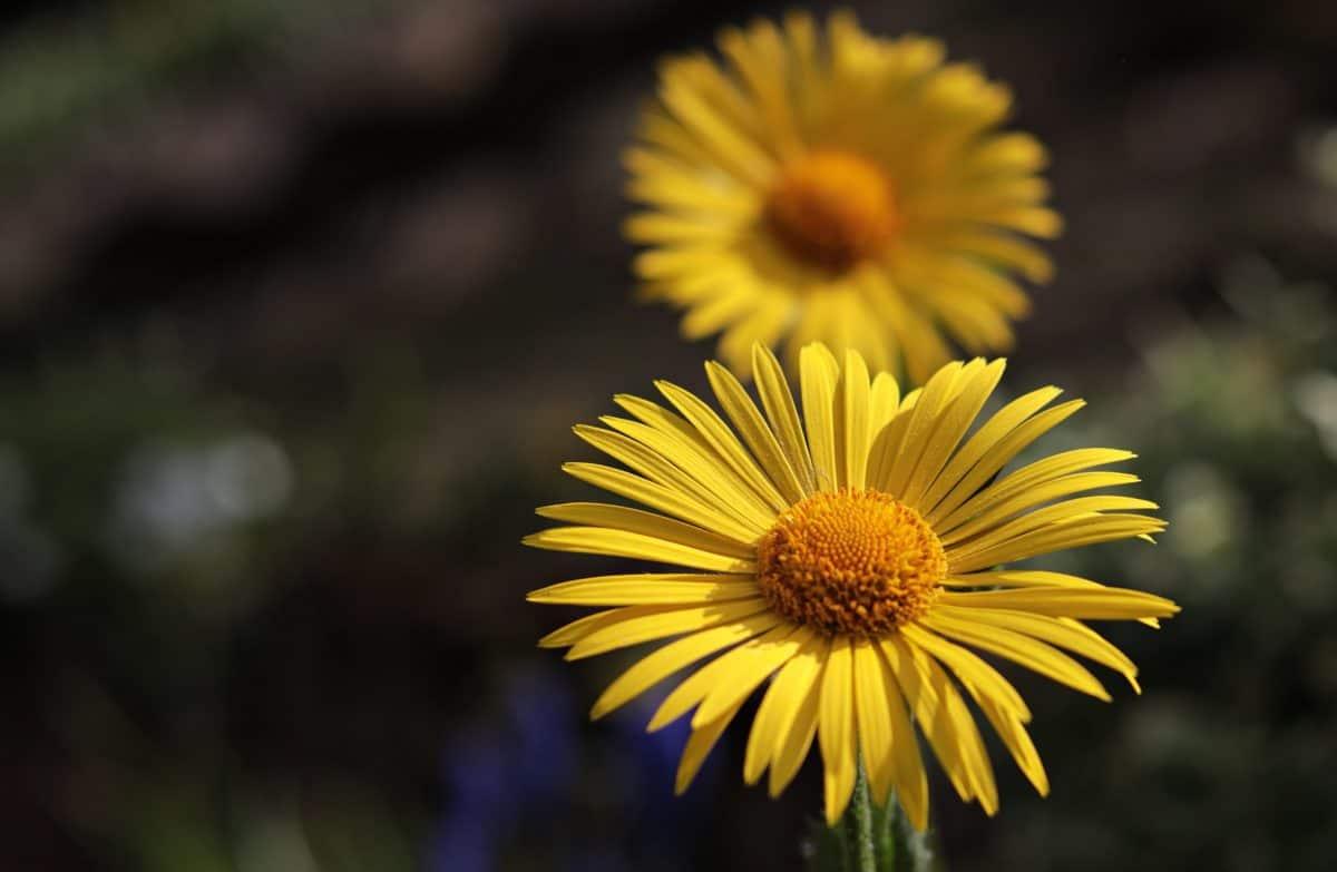 лято, жълто цвете, сянка, природа, Градина, билка, растение, слънчоглед, венчелистче