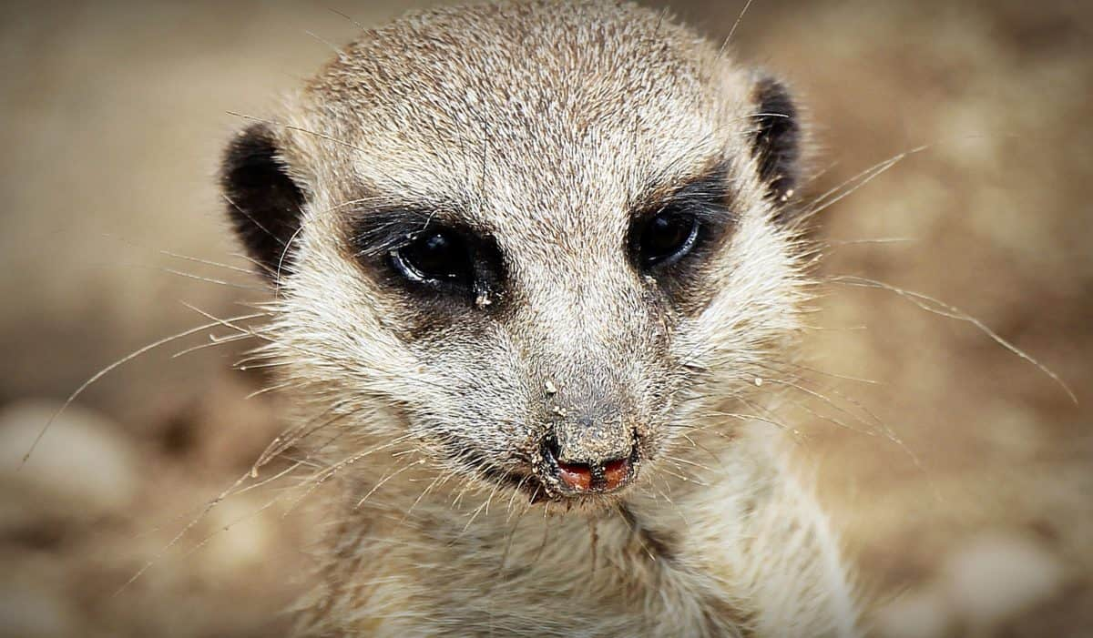 Fur, sød, Mongoose, natur, dyreliv, vilde, dyr, brun