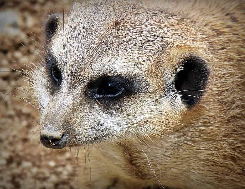 Mongoose, dyr, Fur, ørken, vild, dyreliv, cute