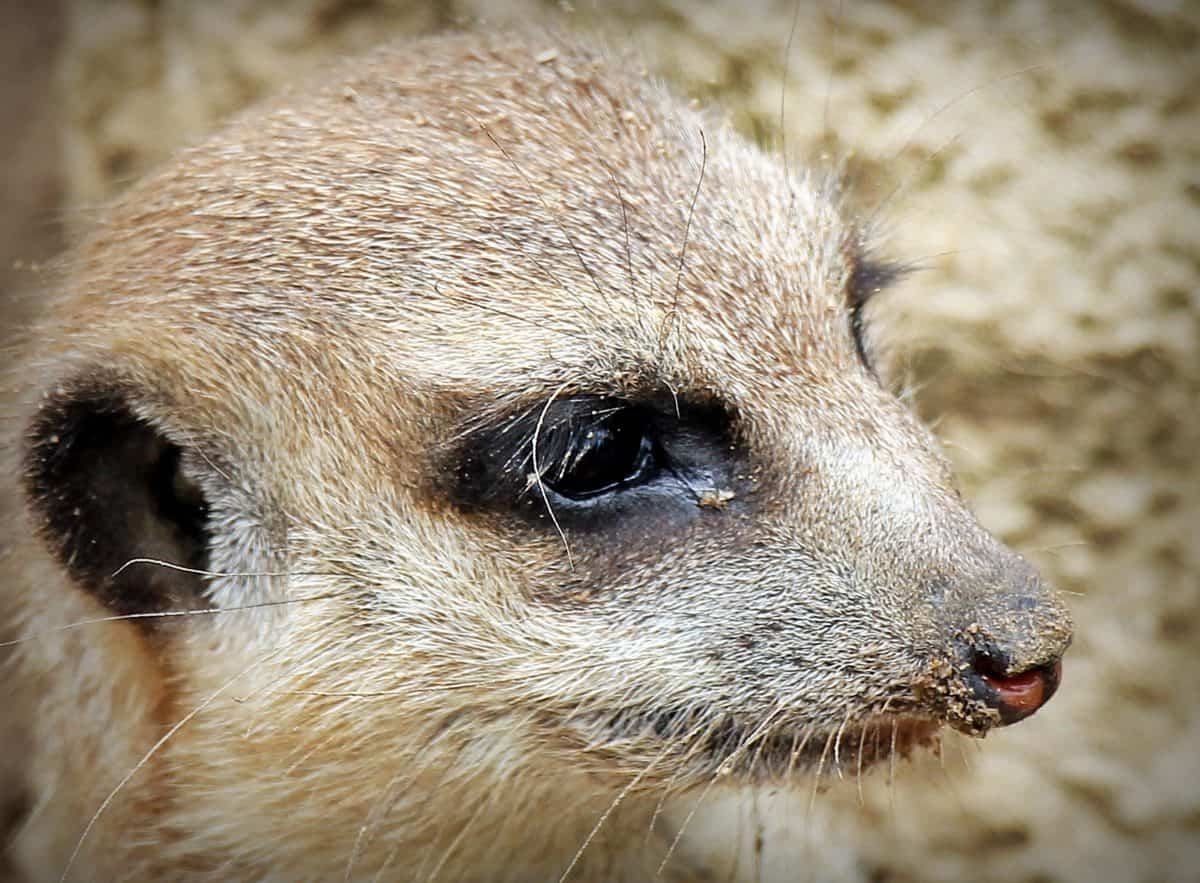 animal, mangosta, naturaleza, piel, lindo, fauna, ojo