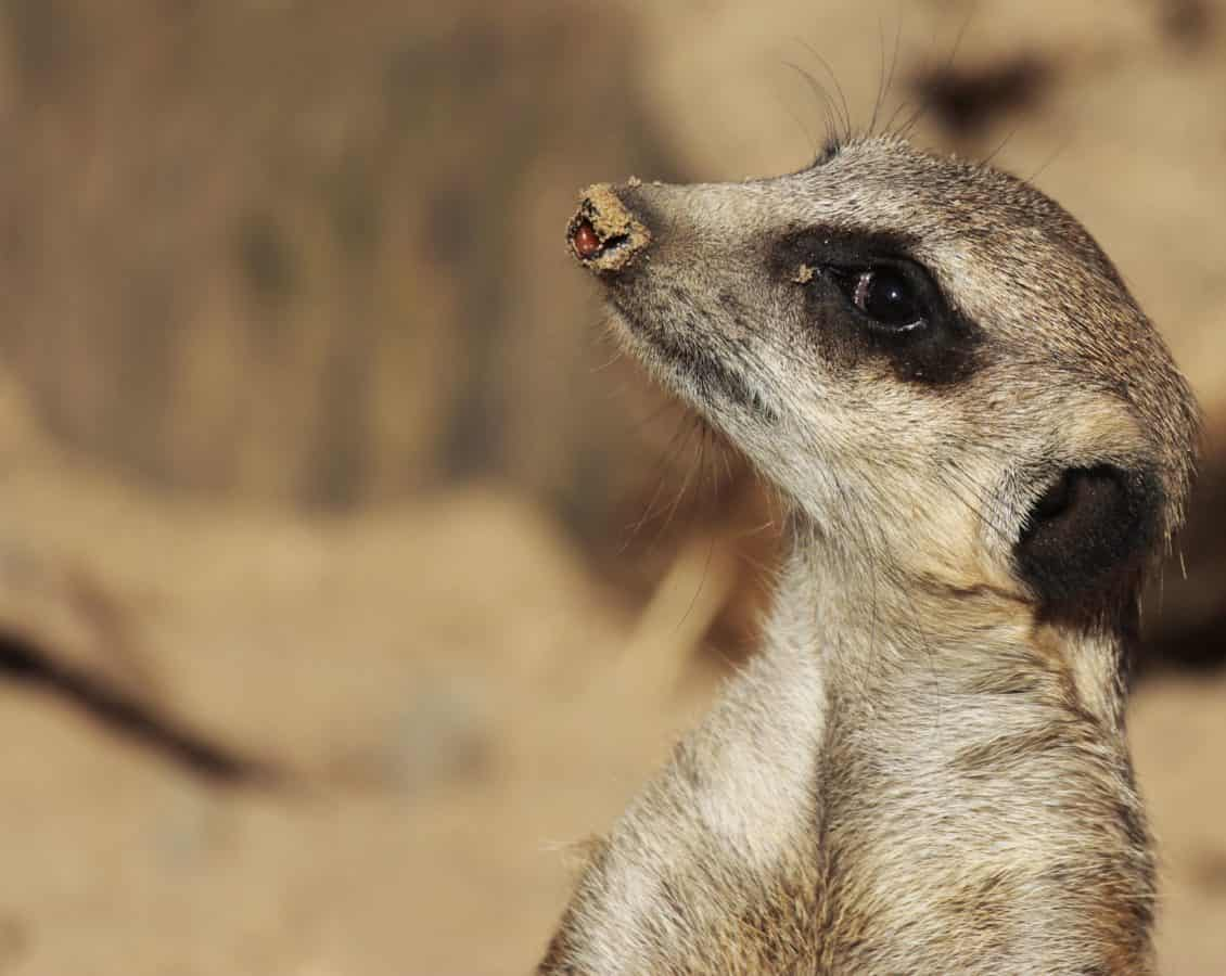 mangosta, lindo, naturaleza, salvaje, desierto, fauna, piel