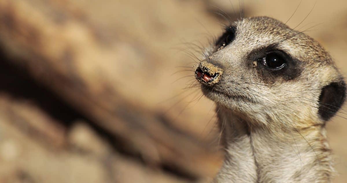 oko, divoká zver, zviera, príroda, divoký, kožušiny, Mongoose, ňufák